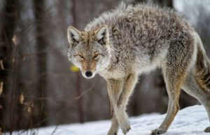 New Hampshire father strangles coyote that attacked his child