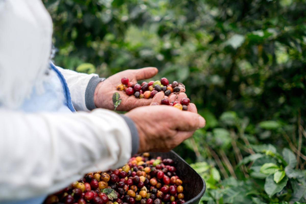 A farmer collects coffee beans, harvesting crops.